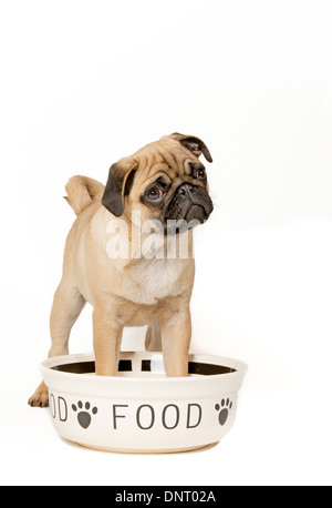 Young pug with feeding bowl - Stock Photo