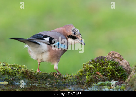 Jay (Garrulus glandarius) perches on the end of a pond covered in mossy rocks, Pembrokeshire, Wales, UK - Stock Photo