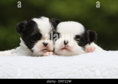 dog Japanese Chin / Japanese spaniel  two puppies (white and black) sleeping on a blanket - Stock Photo