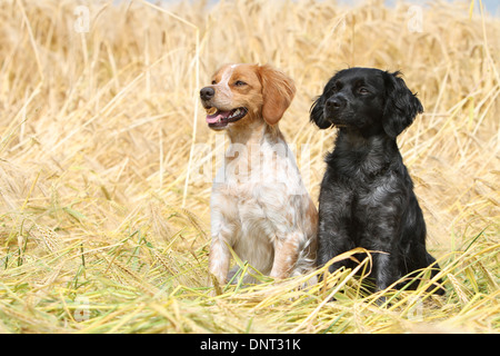 Dog Brittany Spaniel / Epagneul breton  two adults (different colors) sitting in a field - Stock Photo