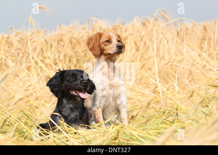 Dog Brittany Spaniel / Epagneul breton  two adults (different colors) in a field - Stock Photo