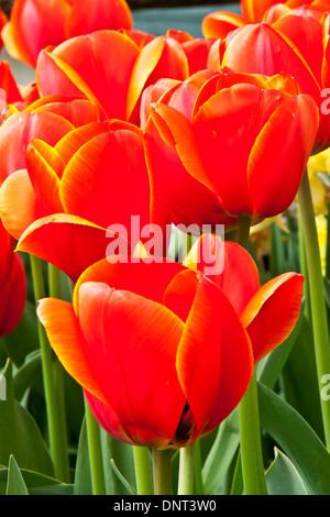 Tulips in bloom during the Skagit Valley Tulip Festival in Mount Vernon, Washington. - Stock Photo