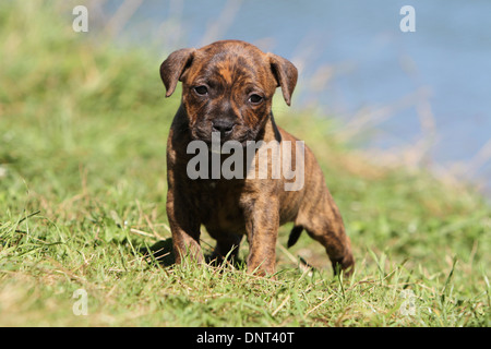 dog Staffordshire Bull Terrier / Staffie  puppy standing in a meadow - Stock Photo