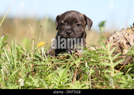 dog Staffordshire Bull Terrier / Staffie  puppy on a wood - Stock Photo
