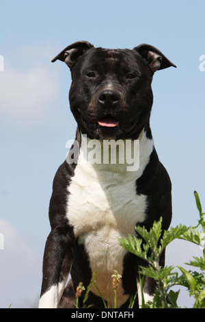 Dog American Staffordshire Terrier / Amstaff    adult portrait - Stock Photo