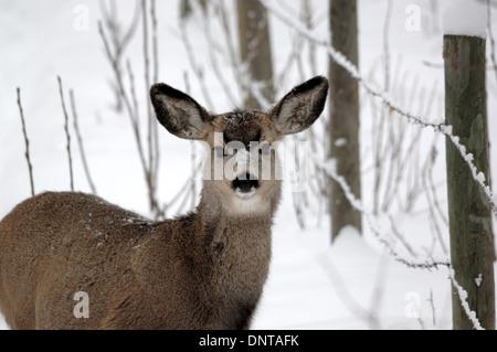 A female (doe) mule deer (Odocoileus hemionus) standing beside a fence in winter.