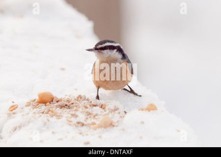 A Red-breasted nuthatch (Sitta canadensis) feeding on some nuts on a cold, winter day in Edmonton, Alberta, Canada. - Stock Photo