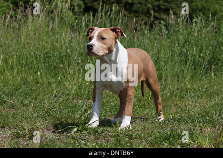 Dog American Staffordshire Terrier / Amstaff  / young standing in a meadow - Stock Photo