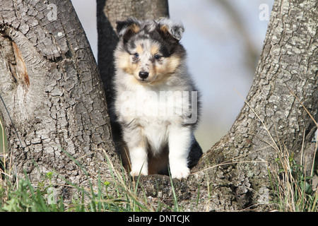 Dog Shetland Sheepdog / Sheltie  /  puppy (blue merle) sitting in a tree - Stock Photo