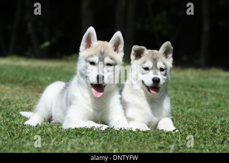 Dog Siberian Husky  /  two puppies lying in a garden - Stock Photo