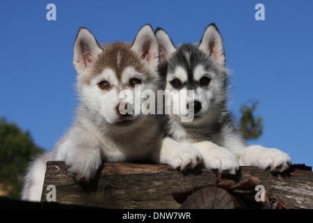 Dog Siberian Husky   /   two puppies lying on a wood - Stock Photo