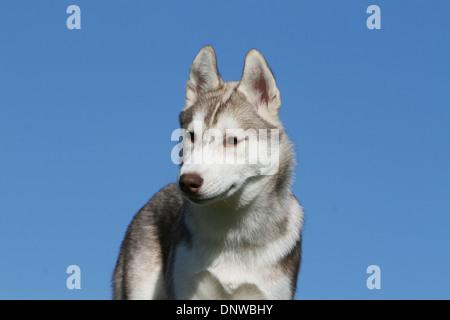 Dog Siberian Husky  /  young portrait profile - Stock Photo