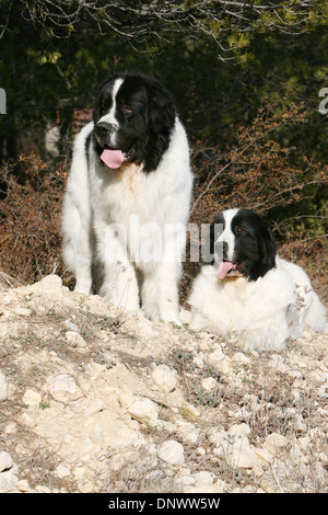 Dog Landseer  /  two adults lying in a forest - Stock Photo