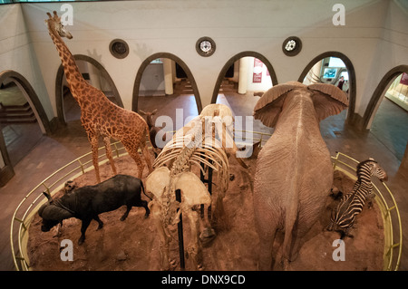 Great Hall of Mammals in the National Museum Nairobi Kenya showing Giraffe Elephant Buffalo and zebra with skeleton - Stock Photo