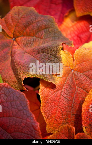 Close up of leaves of Crimson Glory Vine showing Autumn colours with shallow depth of field and isolated on black - Stock Photo