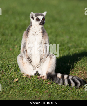 Close up Ring-tailed lemur sat on green grass in relaxed meditation pose. - Stock Photo