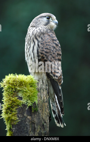 A kestrel on a mossy fence post UK - Stock Photo