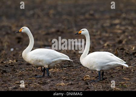 Two Whooper Swans (Cygnus cygnus) foraging in stubble field on farmland in winter - Stock Photo