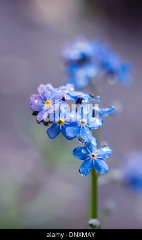 Close-up image of the delicate, tiny blue flowers of the Forget-me-not also known as Myosotis. - Stock Photo