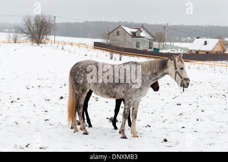 two horses dapple-grey and dark standing on the snowy village - Stock Photo