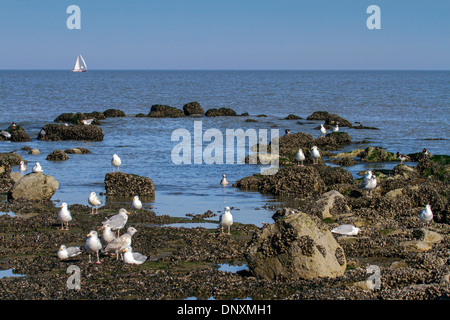 Seagulls and waders foraging on rocks along tide pool at low tide along the North Sea coast - Stock Photo