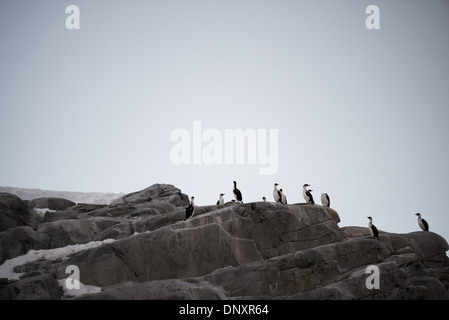 ANTARCTICA - A group of Antarctic shags stand on smooth grey rocks on the coastline of the Antarctic Peninsula. - Stock Photo