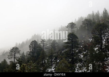 Misty and snowy pine forest in the Arteaga National Park, Coahuila, Mexico. - Stock Photo