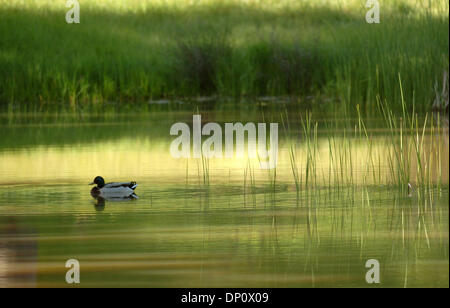 Apr 06, 2006; Mt. Diablo, CA, USA; The early morning sun light reflects off the water as a mallard makes it's way - Stock Photo