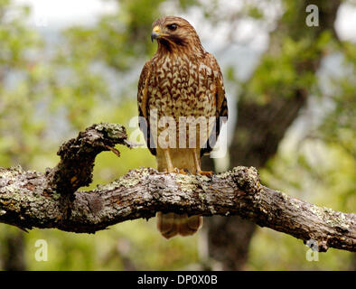 Apr 06, 2006; Mt. Diablo, CA, USA; Red Shouldered Hawk sits on a tree limb near the Mitchell Canyon entrance to - Stock Photo