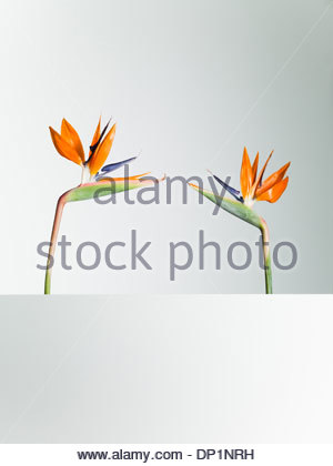 Two bird of paradise flowers face to face - Stock Photo