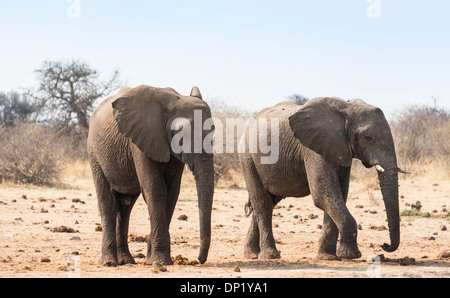 Two African Bush Elephants (Loxodonta africana), Etosha National Park, Namibia - Stock Photo