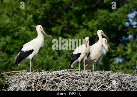 White storks (Ciconia ciconia), young birds on a nest, Germany