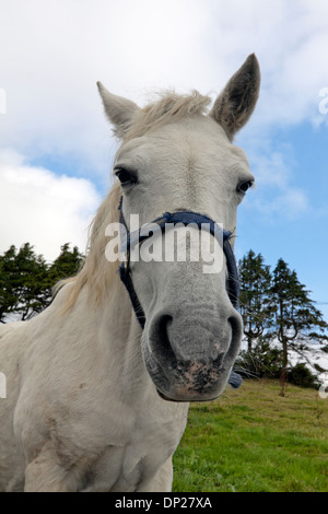 Portrait of a white horse in a field, Cornamona, County Galway, Republic of Ireland. - Stock Photo