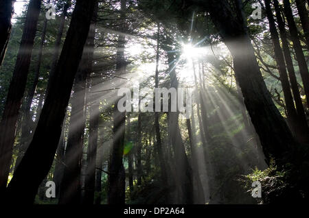May 24, 2006; Sacramento, CA, USA; Early morning light filters through the coastal redwoods at Esalen Institute - Stock Photo