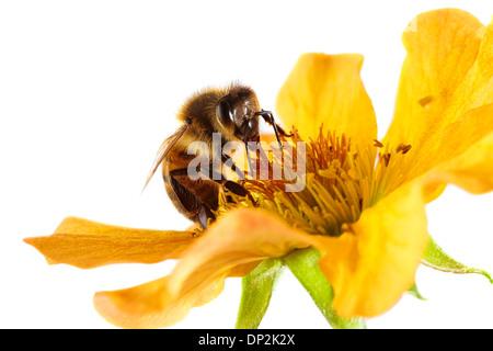 Honey bee on a flower - Stock Photo