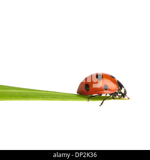 Seven-spot ladybird - Stock Photo