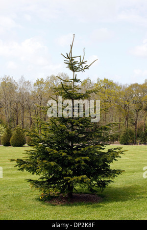 ABIES NORDMANNIANA. NORDMANN FIR. CAUCASIAN FIR. - Stock Photo