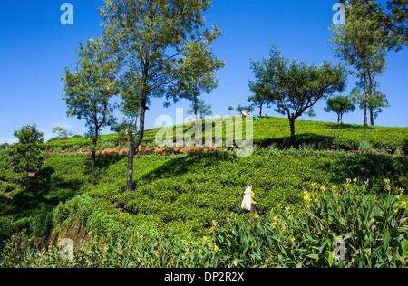 Asia Sri Lanka, workers in fields of tea in the Ramboda Valley - Stock Photo