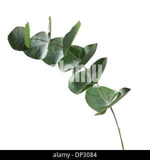 Eucalyptus sp leaves - Stock Photo