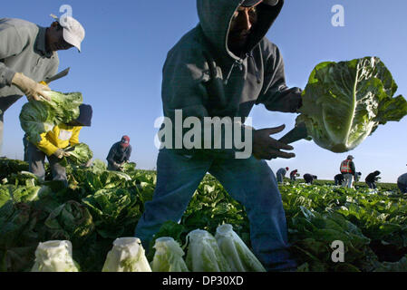 Jun 14, 2006; Salinas Valley, CA, USA; Farm workers harvest romaine lettuce, a back breaking job early in the morning - Stock Photo