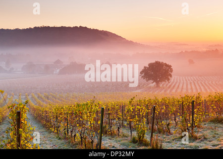 Low lying mist floating over autumn grape vines at Denbies Wine Estate - Stock Photo