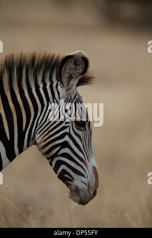Grevy's zebra, also known as the imperial zebra, Kenya - Stock Photo
