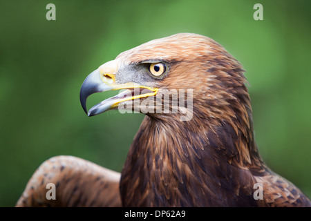 Portrait of a Golden Eagle crossed with a Russian Steppe Eagle with an open beak. - Stock Photo