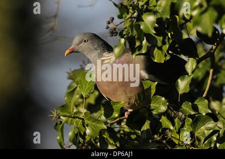 Wood Pigeon (Columba palumbus) adult, feeding on ivy berries, Norfolk, England, December - Stock Photo