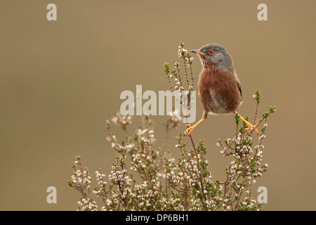 Dartford Warbler (Sylvia Undata) - UK - Stock Photo