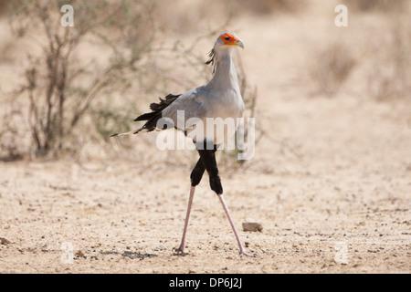 Secretary Bird (sagittarius serpentarius) walking in the Kalahari, South Africa - Stock Photo