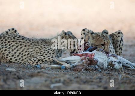 Female Cheetah and cub with kill in the Kalahari - Stock Photo