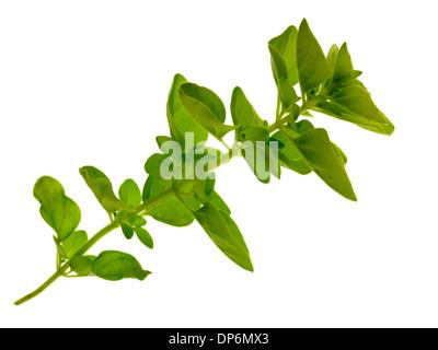 fresh herbs oregano/marjoram - Stock Photo