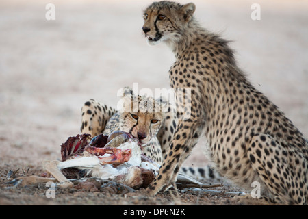 Female Cheetah and cub with kill in the Kalahari - Stock Photo