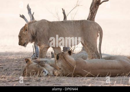 African Lion pride in the Kalahari desert - Stock Photo